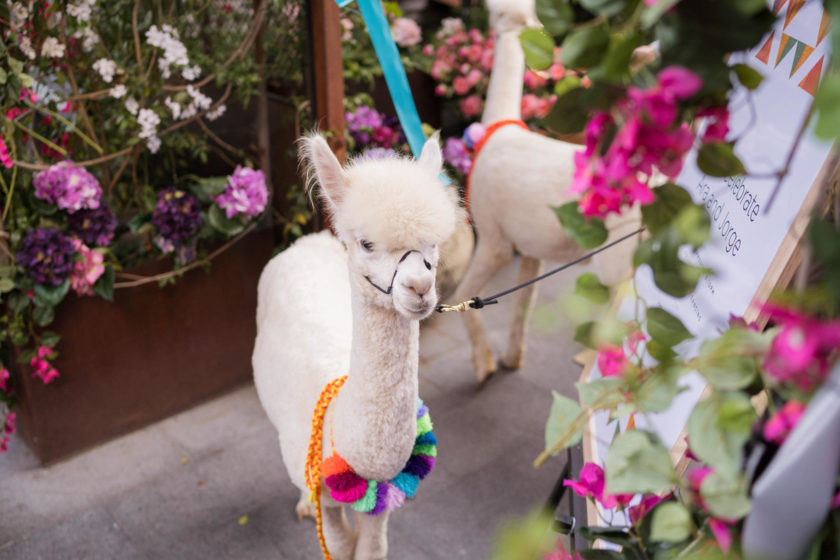 Lllama at a wedding